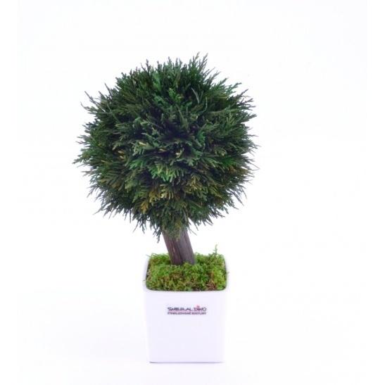 Stromeček Thuja